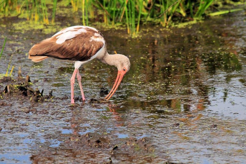 Download Juvenile White Ibis stock image. Image of plumage, pond - 19768883