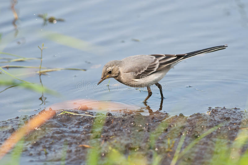 Juvenile White Wagtail. Young Pied Wagtail wading near the shore stock photography