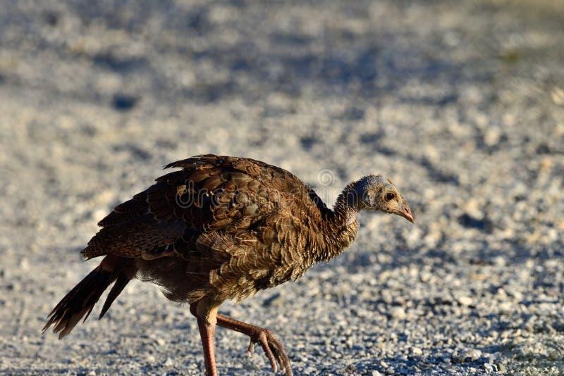 A Juvenile Wild Turkey stock photography