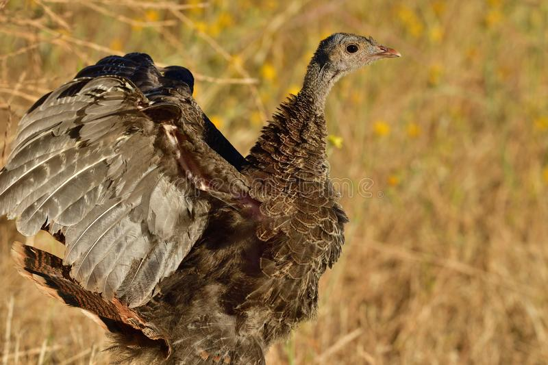 A Juvenile Wild Turkey Flapping Wings stock photos