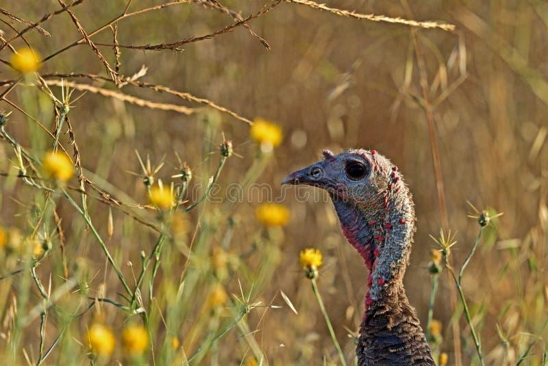 A Juvenile Wild Turkey stock photo