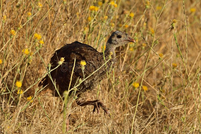 A Juvenile Wild Turkey Flapping Wings royalty free stock photography