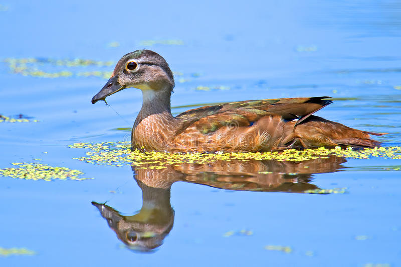 Download Juvenile Wood Duck stock photo. Image of reflection, nature - 25708082