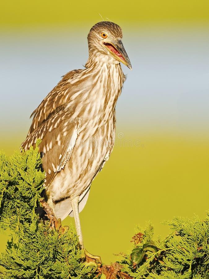 Juvenile Yellow-crowned Night Heron in Tree stock photos
