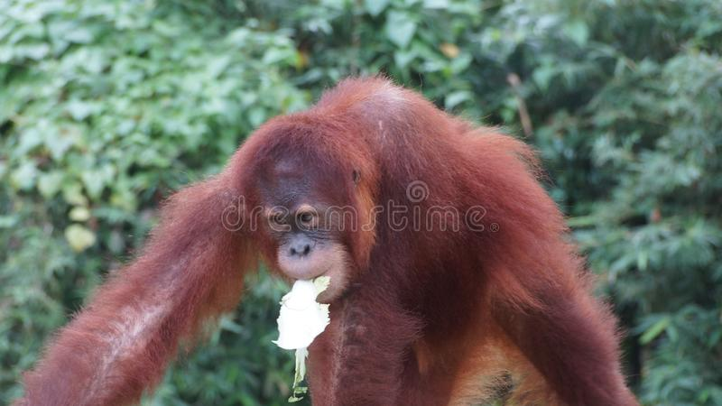 Juvenile and young orang utan in National Zoo of Malaysia stock photo
