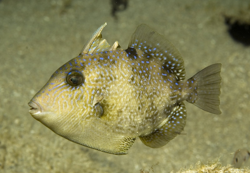 Juvenille Gray Triggerfish. Gray Triggerfish-Balistes capriscus picture taken in south east Florida stock image