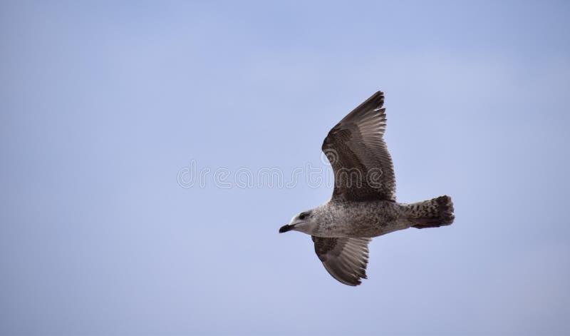 Juvenille Herring Gull. Brighton, United Kingdom - March 29 2018: A Juvenille Herring Gull in flight royalty free stock photo
