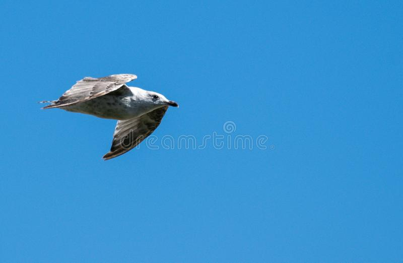 Blue sky herring gull. A juvenille herring gull flying in a deep blue sky stock photography