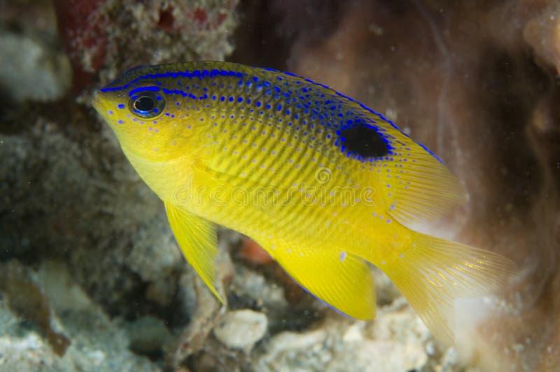 Juvenille Longifin Damselfish lizenzfreies stockfoto