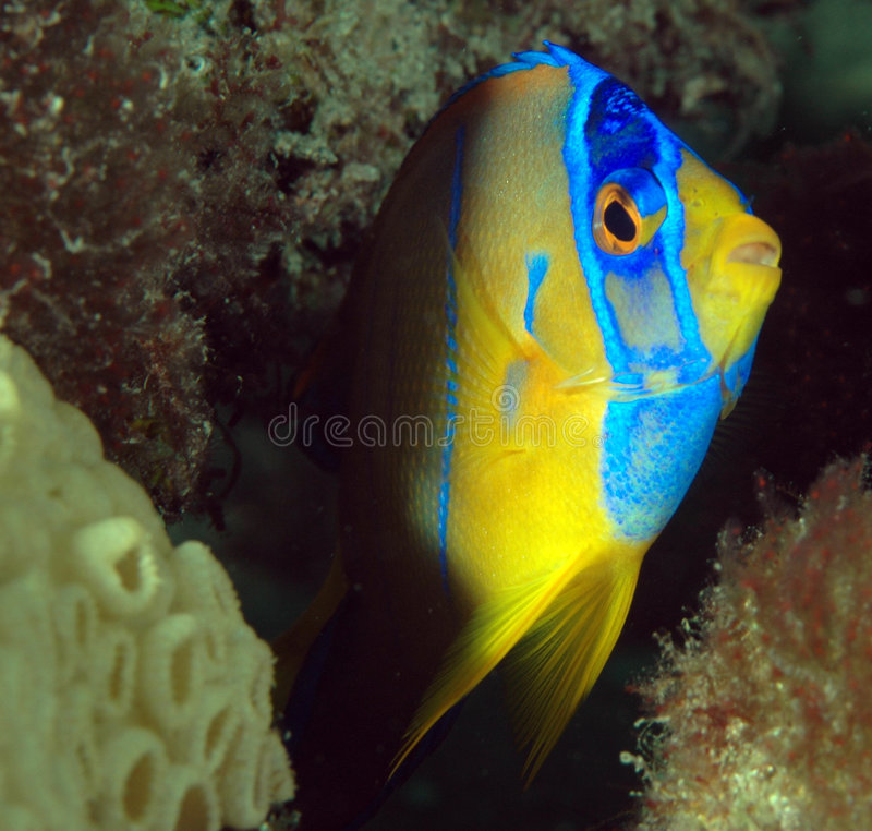Juvenille Queen Angelfish. Profile Head Shot of a Juvenille Queen Angelfish-Holocanthus cilirias stock photo