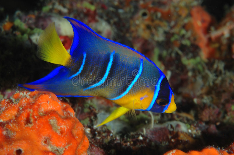 Juvenille Queen Angelfish. Holocanthus ciliaris royalty free stock images