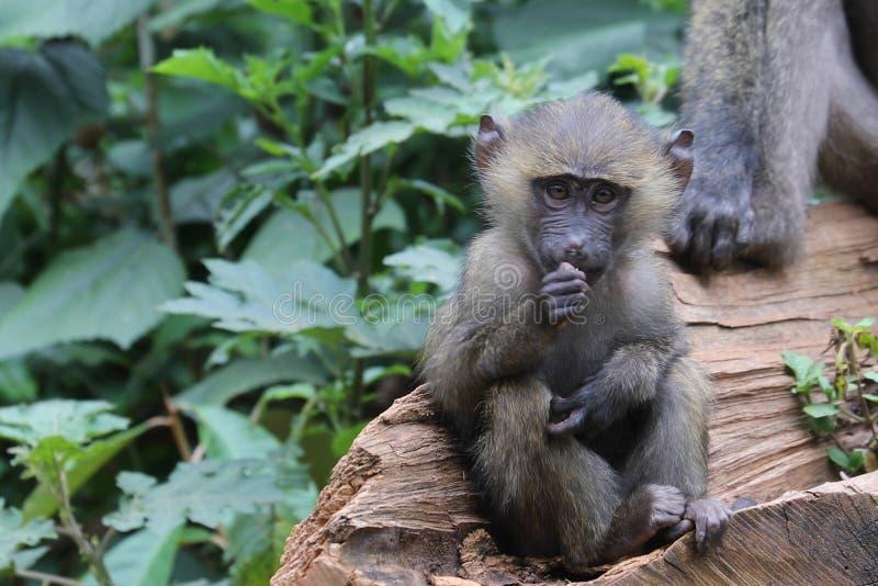 Juventud del babuino con la comida foto de archivo libre de regalías