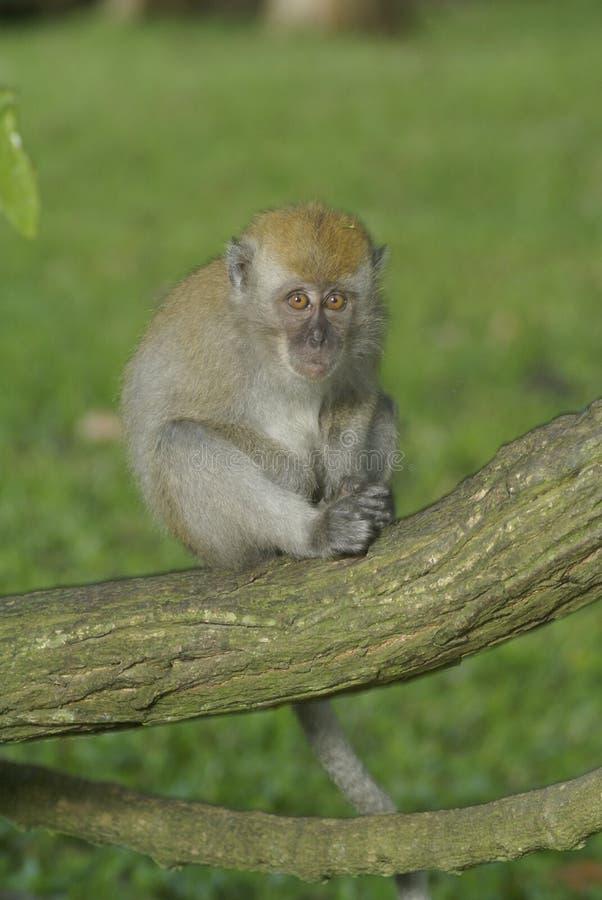 Juventud del mono en la ramificación fotos de archivo