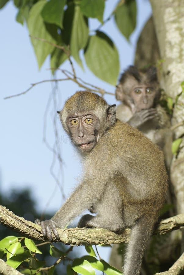Juventudes del mono en árbol imagenes de archivo