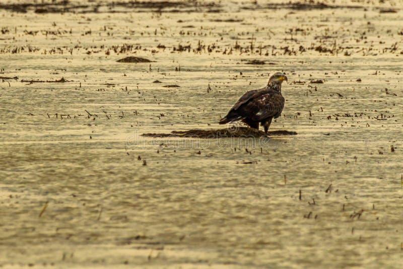 Juvie. Juvenile Bald Eagle looking for its dinner at the Bald Knob Wildlife Refuge in Bald Knob, Arkansas 2017 stock image