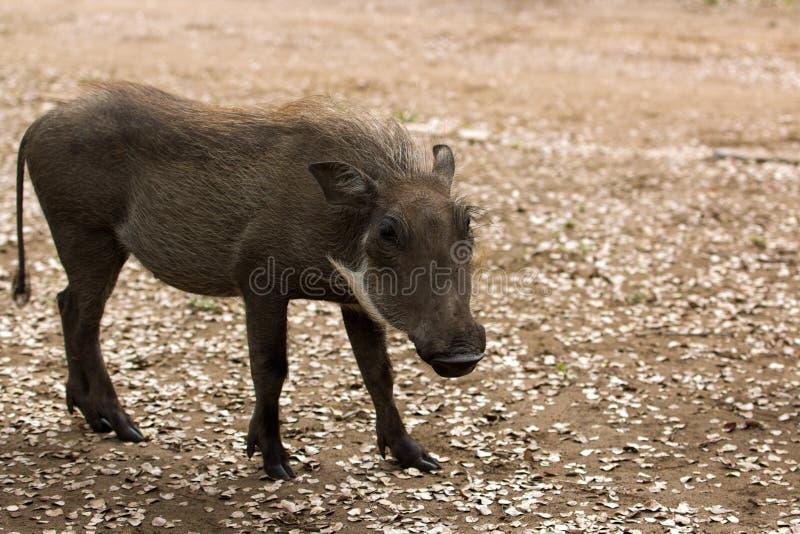Download Juvinile warthog母猪 库存图片. 图片 包括有 母猪, 公用, 女性, 闹事, 复制, 空间 - 30338997