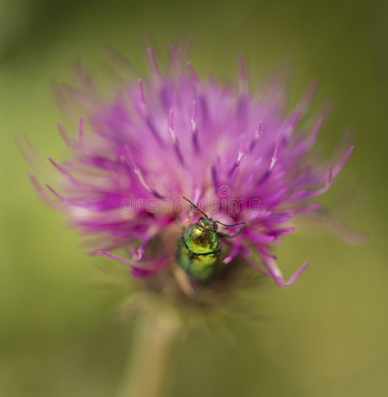 Juwel coleopteron Insekt auf rosa Kleeblume lizenzfreies stockfoto