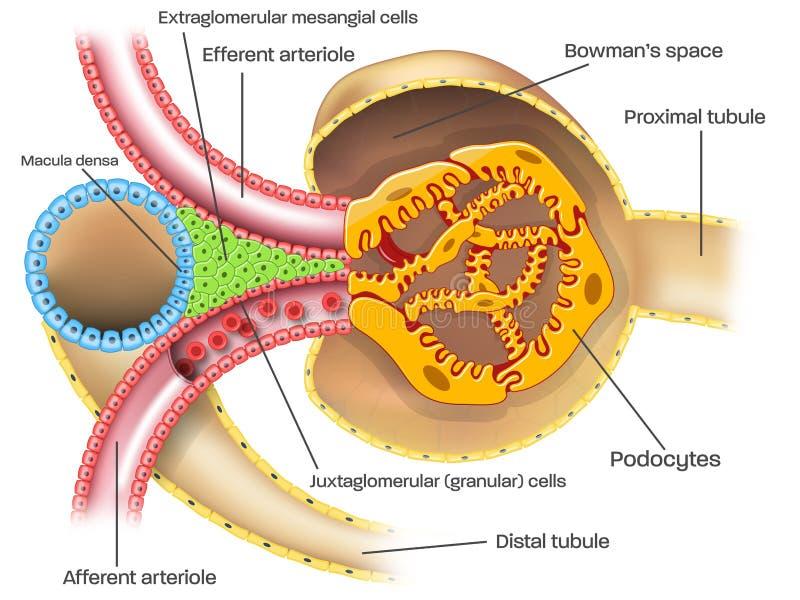Juxtaglomerular apparatur av njurenephronillustrationen med överskrifter stock illustrationer