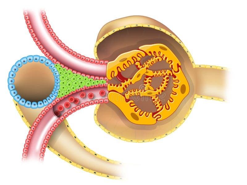 Juxtaglomerular apparatur av njurenephronillustrationen utan överskrifter royaltyfri illustrationer