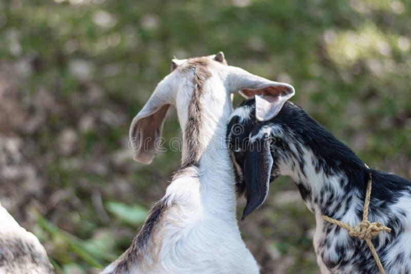 Kózka w indyjskim afrykaninie pasa w kraju z długimi ucho i futerko z odosobnionym tłem w obszarach trawiastych popieramy kogoś zdjęcie stock