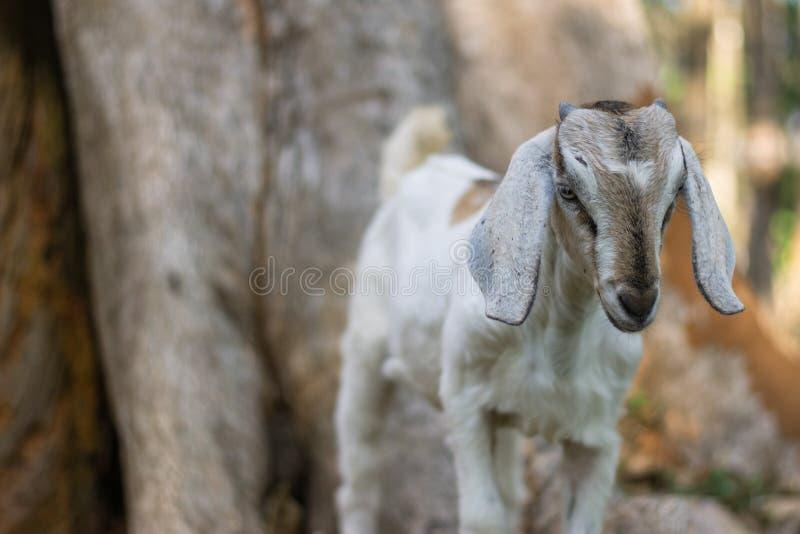 Kózka w indyjskim afrykaninie pasa w kraju z długimi ucho i futerko z tłem w obszarach trawiastych popieramy kogoś zdjęcie stock