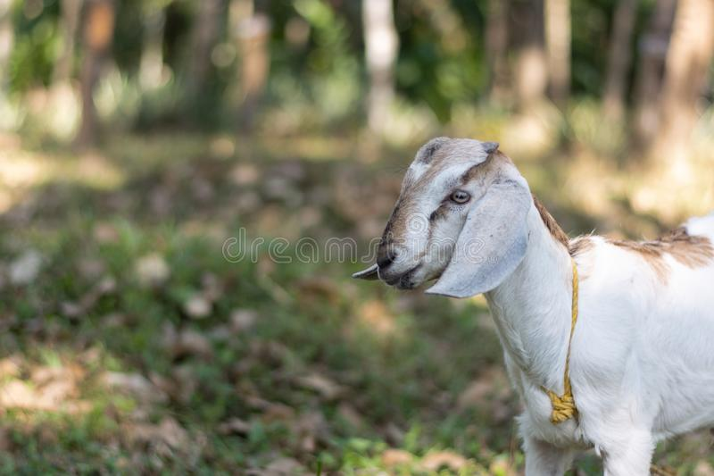 Kózka w indyjskim afrykaninie pasa w kraju z długimi ucho i futerko z tłem w obszarach trawiastych popieramy kogoś obraz royalty free