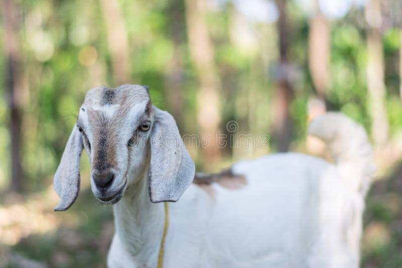 Kózka w indyjskim afrykaninie pasa w kraju z długimi ucho i futerko z tłem w obszarach trawiastych popieramy kogoś obrazy stock