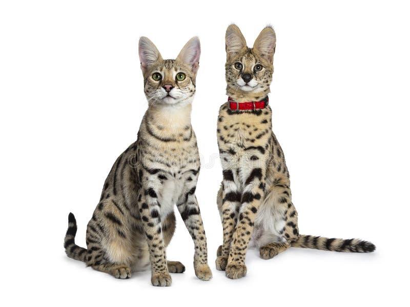 Kühle junge erwachsene Katze der Savanne F1 und Servalkätzchen, lokalisiert auf weißem Hintergrund stockfoto