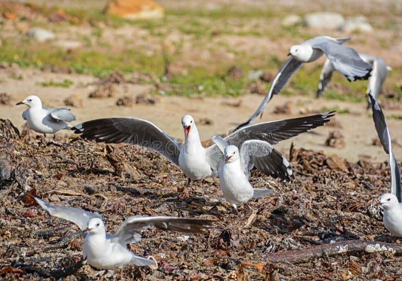 käbbla för seagulls arkivbild