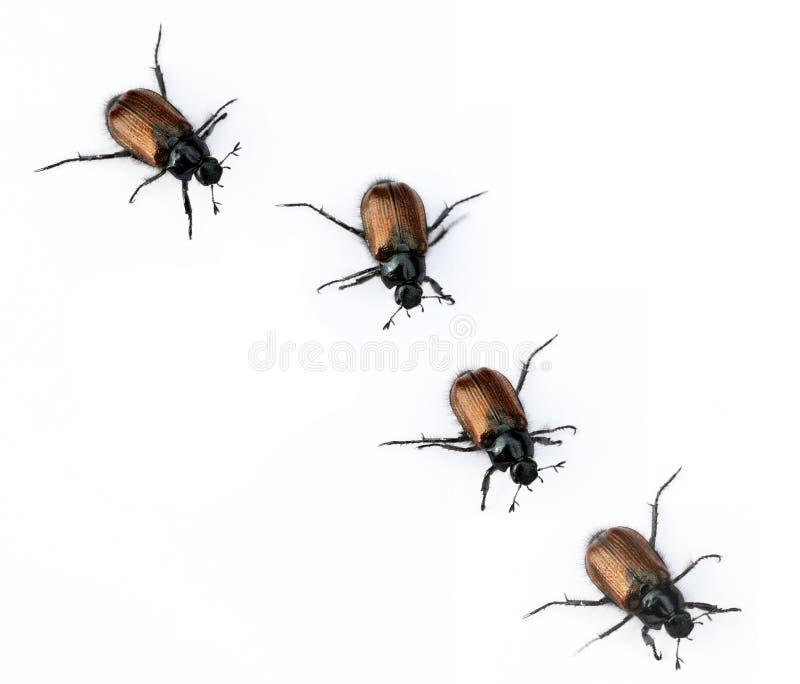 Käfer lizenzfreie stockbilder