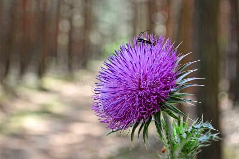 Käfer auf Distel lizenzfreies stockfoto