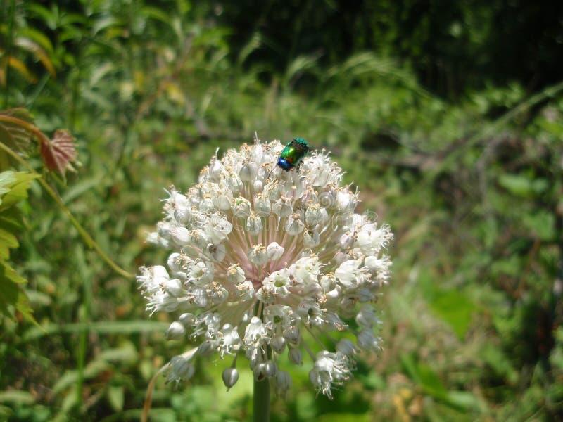 Käfer auf einer Blume lizenzfreie stockbilder
