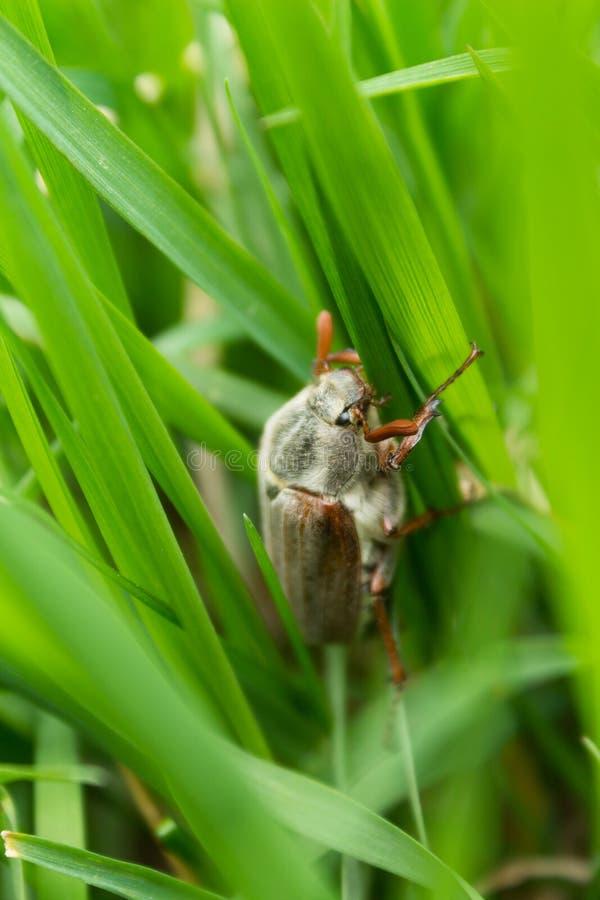 Käfer auf Gras lizenzfreies stockfoto
