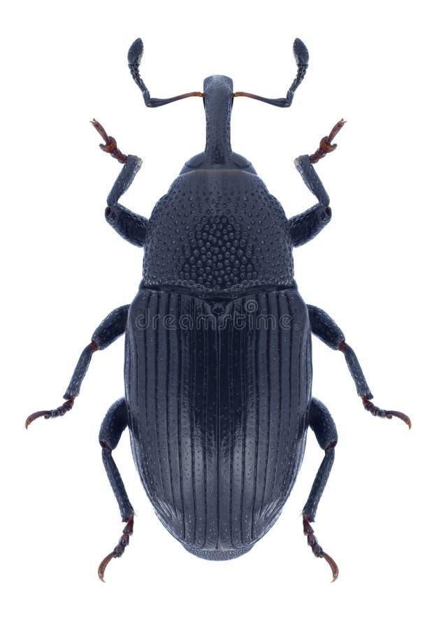 Käfer Baris-artemisiae lizenzfreie stockfotos