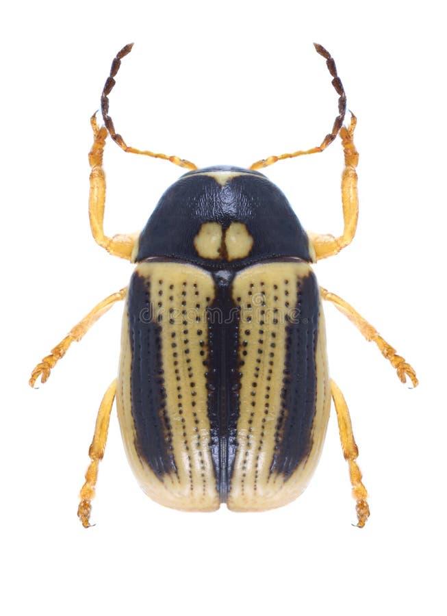 Käfer Cryptocephalus-bilineatus lizenzfreies stockfoto