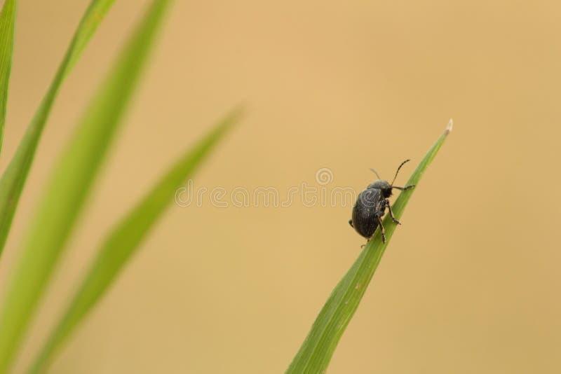 Käfer, der auf einem Blatt klettert lizenzfreie stockfotografie