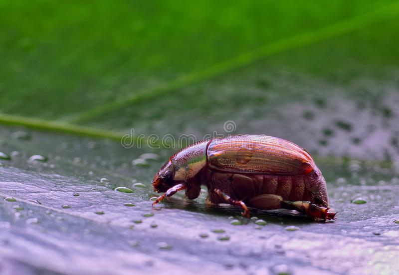 Käfer Elfenbein Marginated Ruteline mit Wassertröpfchen lizenzfreie stockbilder