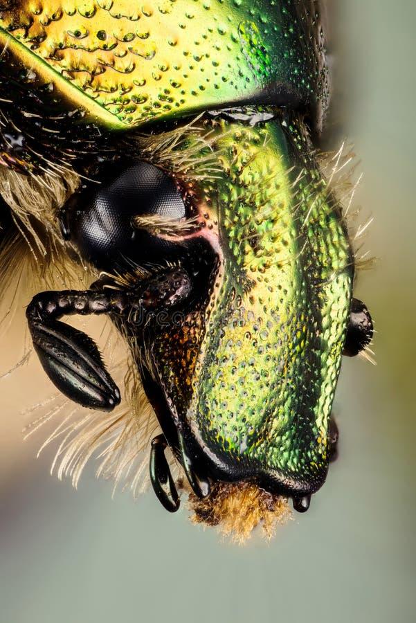 Käfer - Rose Chafer, Cetonia aurata stockfotografie