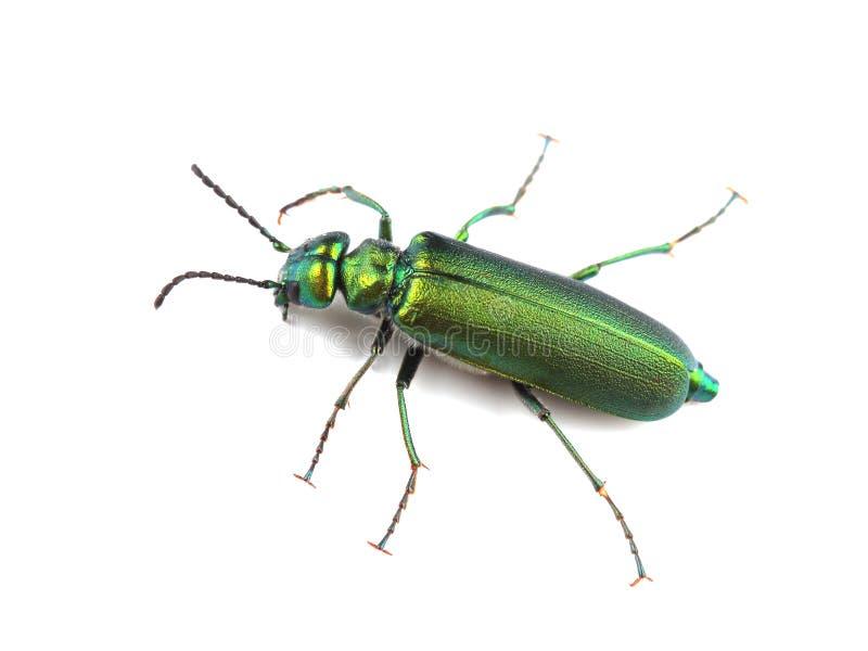 Käfer - spanische Fliege Lytta-vesicatoria auf Weiß stockfotografie