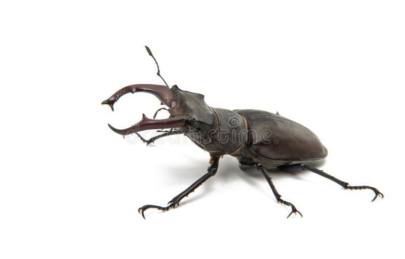 Käferhirschkäfer lokalisiert stockfotos