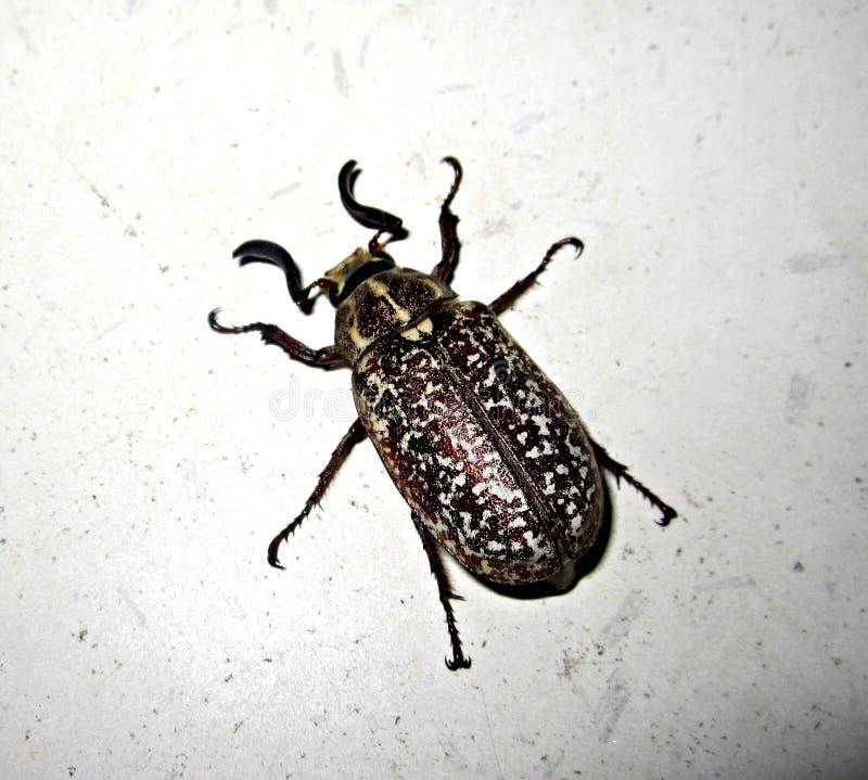 Käferinsektenfliegen-Käfertruthahn stockfotos
