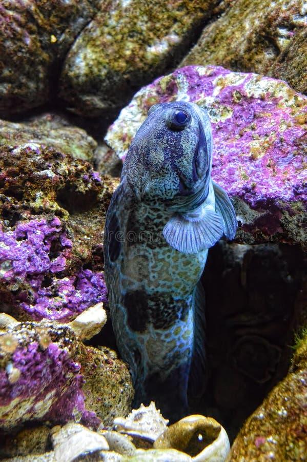 Käkefisken simmar ut ur hålet arkivbild