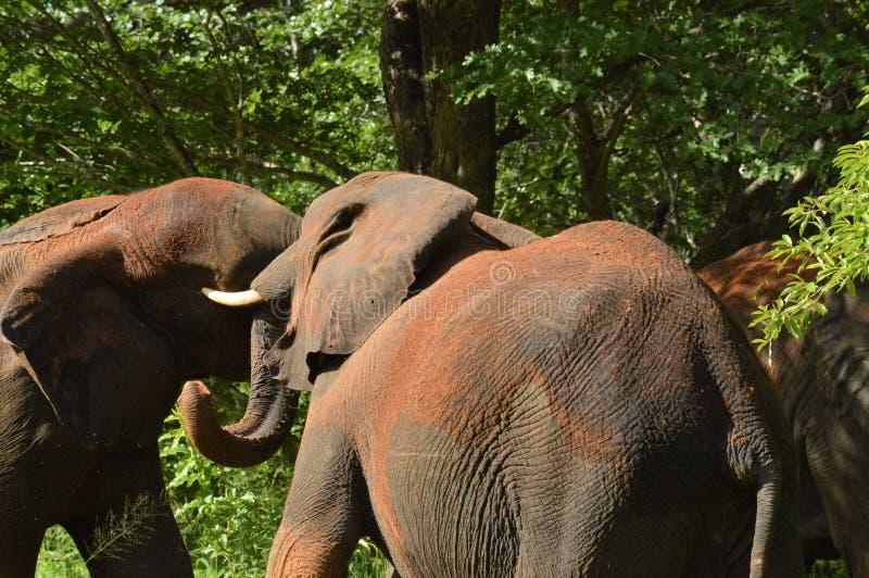 Kämpfen mit zwei Elefanten stockbild