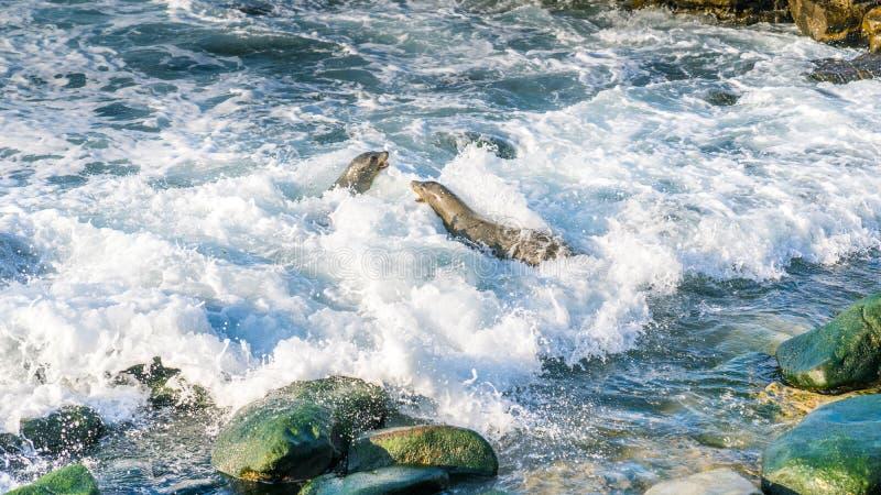 Kämpfen mit zwei Seelöwen stockfoto