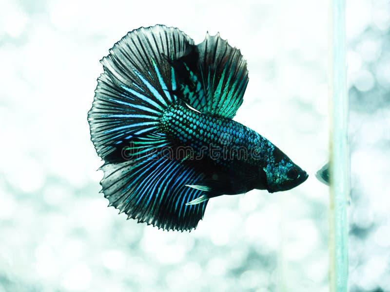 Kämpfende Fische stockbilder
