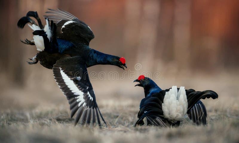 Kämpfende lekking Moorhühner lizenzfreie stockfotografie