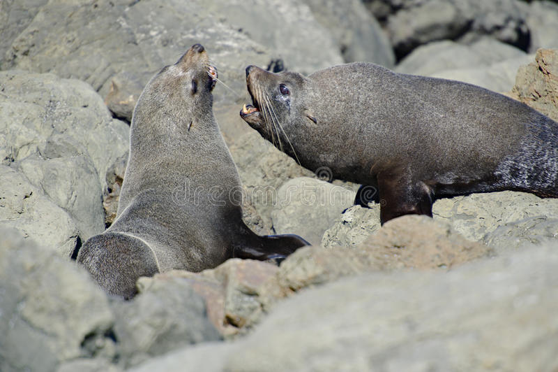 Kämpfende Pelz-Robben lizenzfreies stockbild