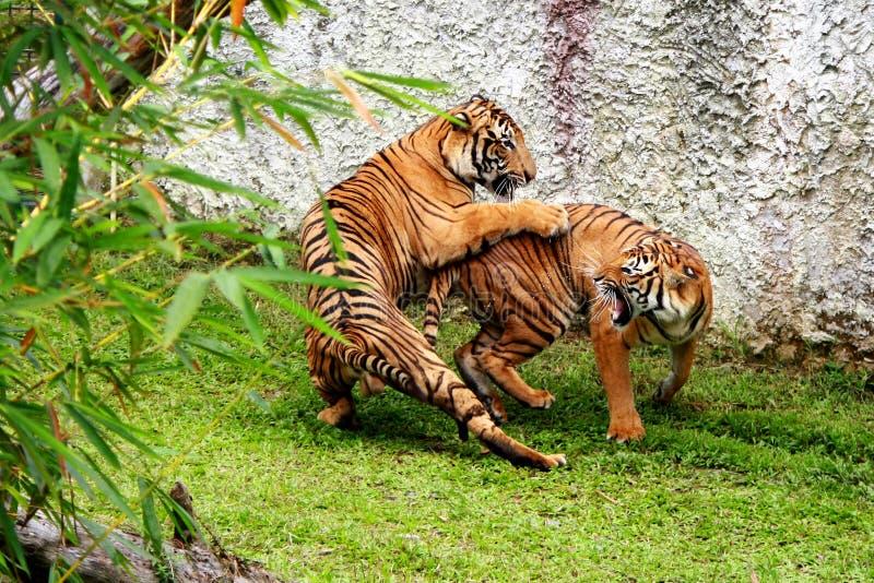Kämpfende Tiger stockfotos