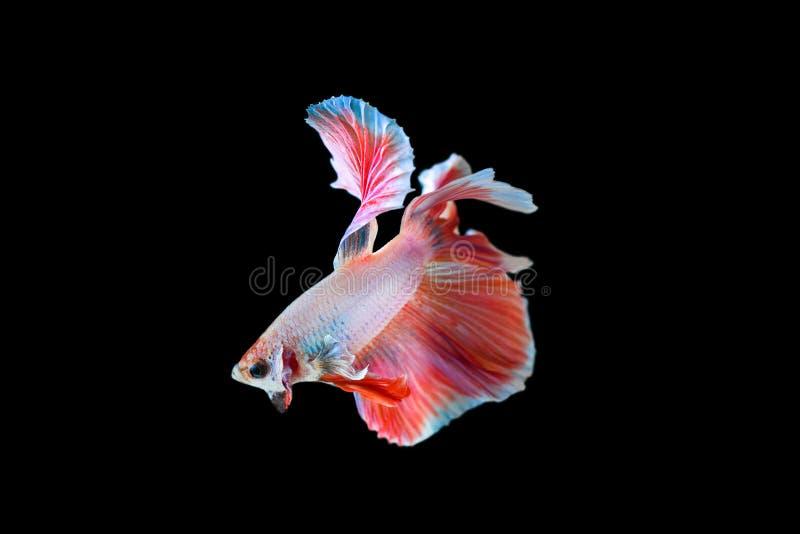 Kämpfender Fischhalbmond stockfoto