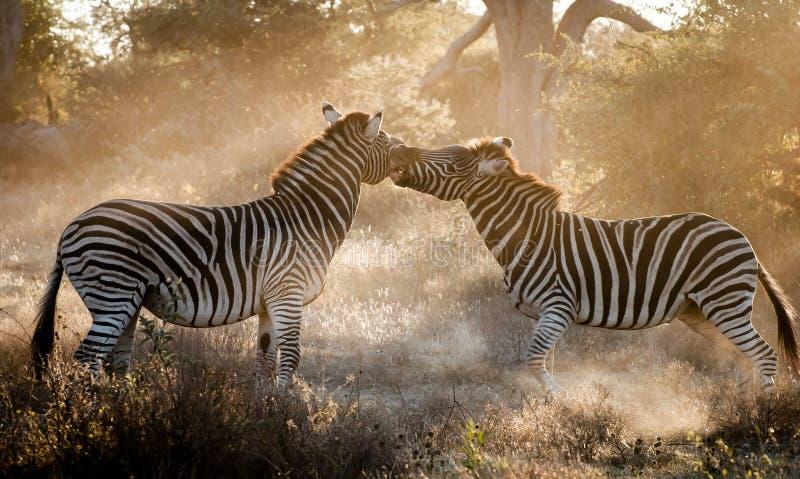 Kämpfendes Zebra stockfoto